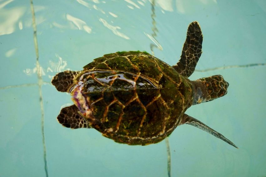 Animal Themes Animal Wildlife Animals In The Wild Close-up Day Nature No People One Animal Outdoors Reptile Sea Life Sea Turtle Swimming Tortoise Shell Turtle Water