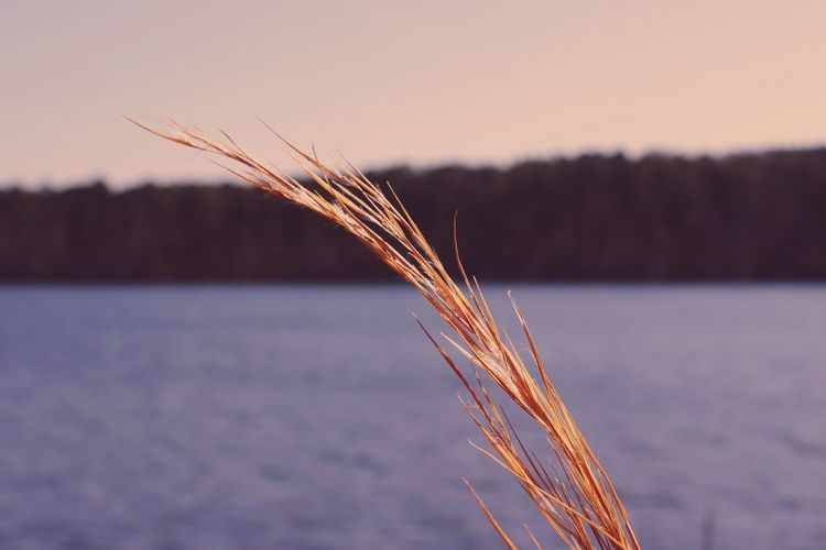 Close-Up Of Grass By Lake Against Clear Sky During Sunset