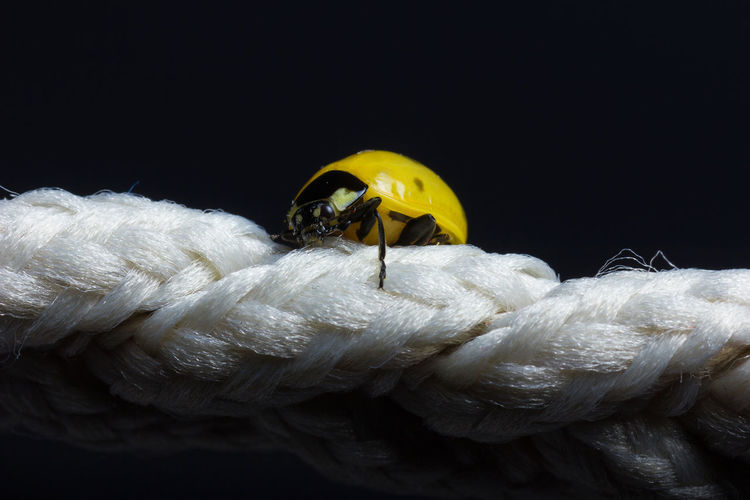yellow ladybug climb up on white string in front of black background Climb Up Ladybug Rope String Black Background Climbing Close Up Close-up Insect Little Macro Rare Rare Beauty Scuttle Small Studio Shot Yellow
