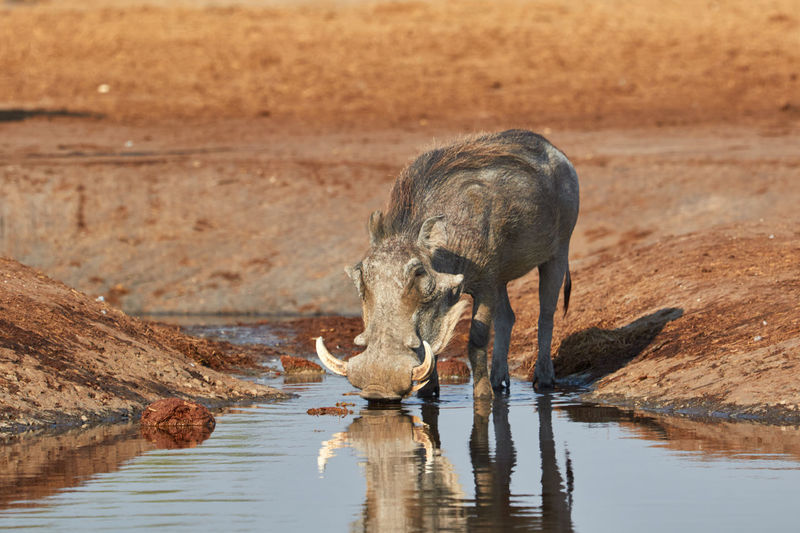 Warthog drinking water at river