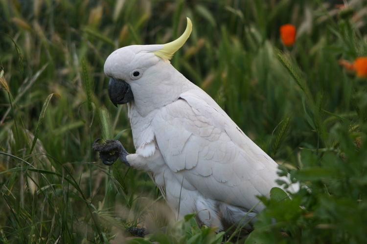 Sulphur crested cockatoo amidst plants
