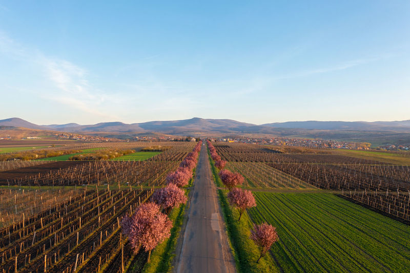 Gyongyostarjan, hungary - aerial view about beautiful blooming plum trees by the road.