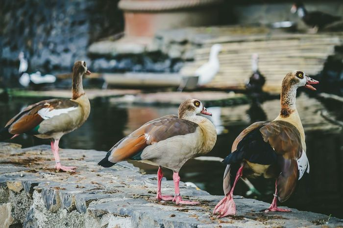 You came to the wrong neighborhood motherquacker Spring Into Spring Connected With Nature Egyptian Goose Ducks Birds Bird Photography Bird Watching Animals Animal Photography Three Of A Kind