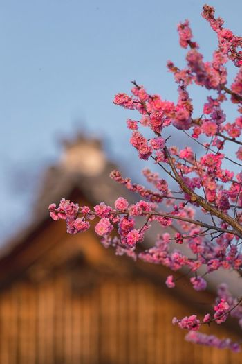 Blooming Sakura tree In Kyoto Sunset Temple Kyoto Architecture Sakura Pink Color Plant Flower Flowering Plant Tree Fragility Growth Freshness Cherry Blossom Springtime Close-up Outdoors Day Branch Blossom Nature Beauty In Nature