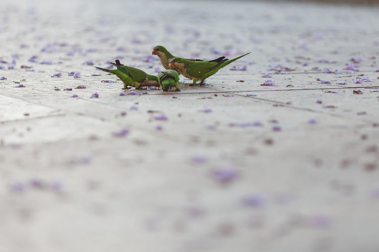 Close-up of parakeets on floor