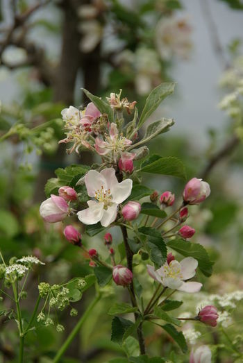 Apfelblüte Appel Appel Blossom Beauty In Nature Blossom Flower Flower Head Nature No People Plant Tree