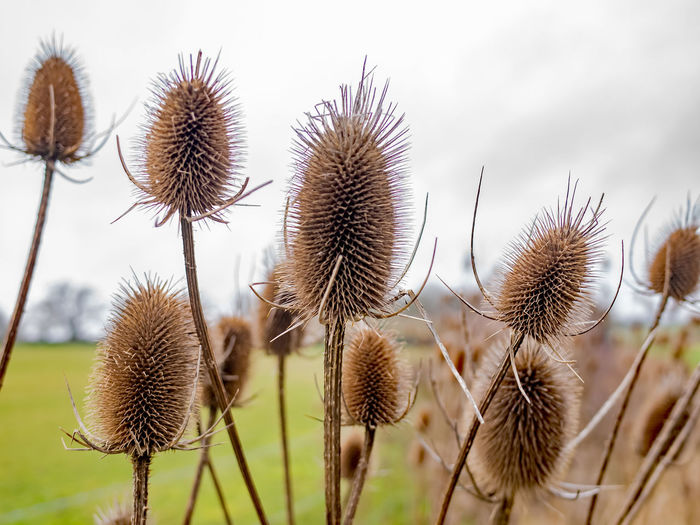 Close-up of dried thistle on field against sky