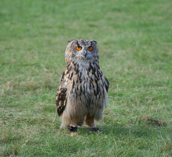 Portrait Of Eagle Owl Perching On Grassy Field