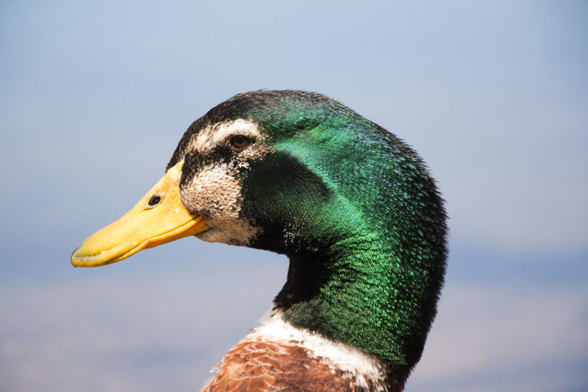 Duck face Duck Face Animals In The Wild Bird Close-up Duck Nature No People One Animal