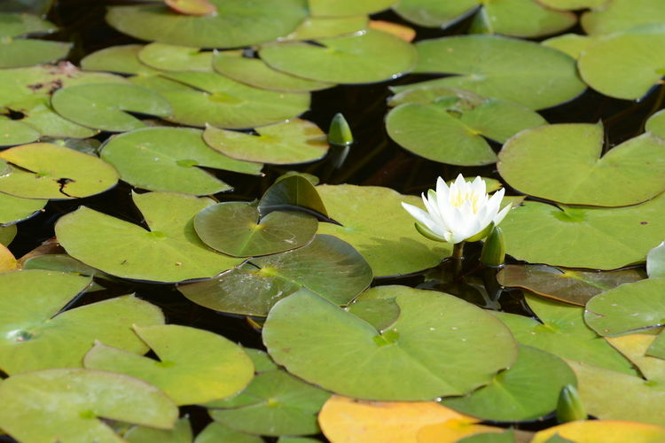 Close-up of water lily on leaves