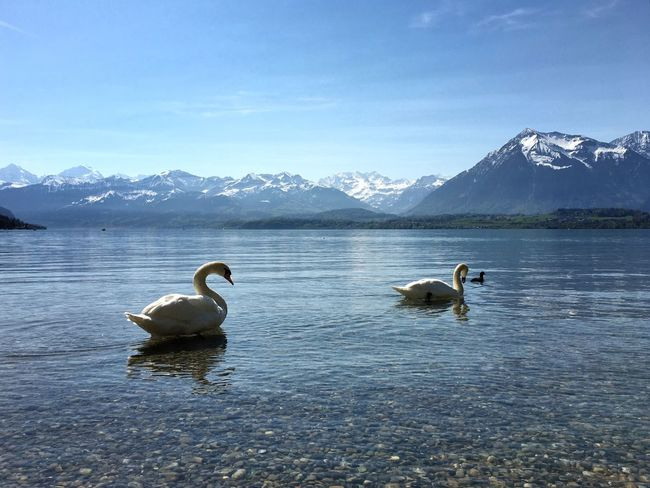 Swan Water Bird Animal Themes Animal Vertebrate Group Of Animals Animals In The Wild Lake Beauty In Nature Animal Wildlife Mountain Nature Day Waterfront Sky No People Scenics - Nature Snowcapped Mountain