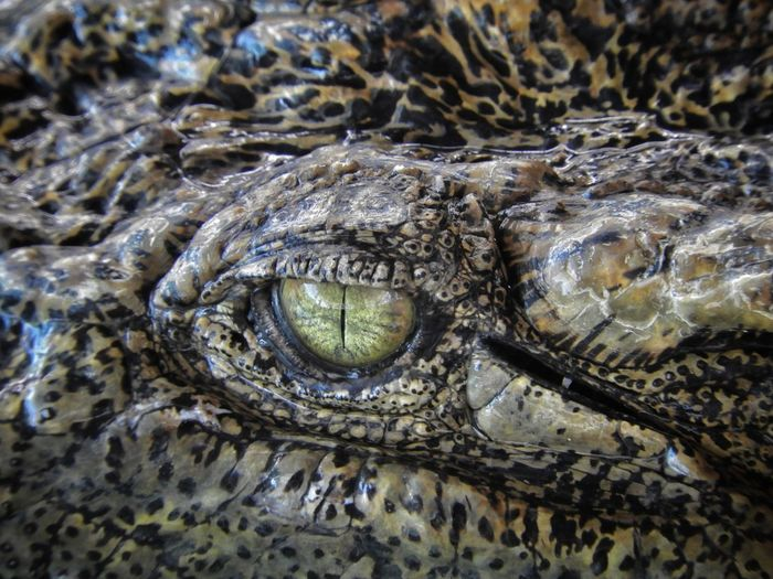 Close-up of crocodile in sea