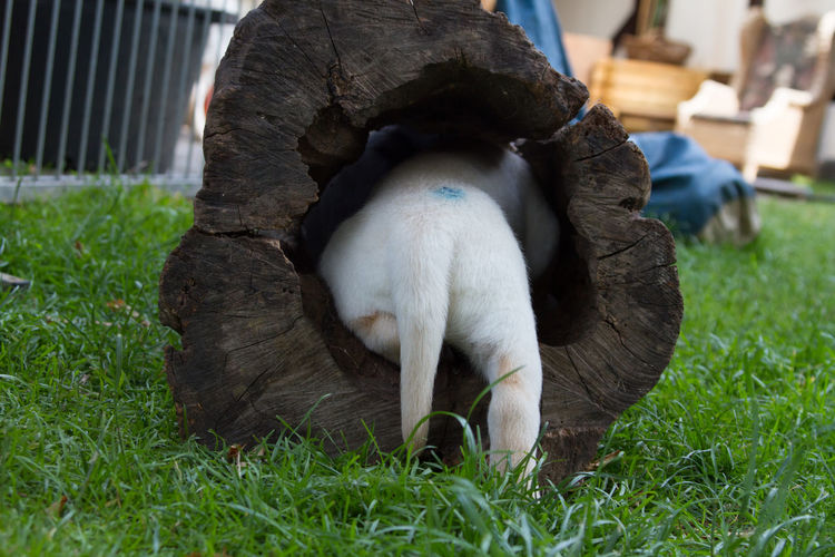 Rear view of dog in hollow log at yard