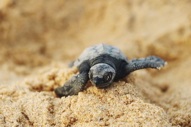 Be brave Brave Turtle Baby Turtle Sand Animal Wildlife Animals In The Wild Animal Themes Animal One Animal Land Focus On Foreground No People Sea Nature Selective Focus Outdoors EyeEmNewHere