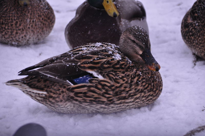 Close-up of birds in snow