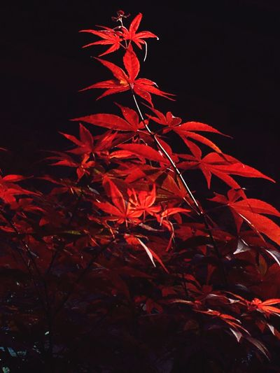Red Asian  Branch Red Leaves Red Color Artistic Artistic Photo