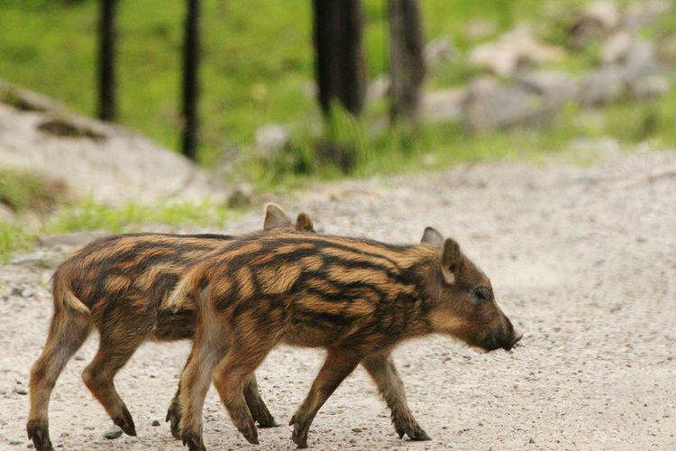 Baby wild pigs