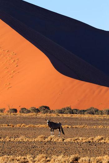Antelope standing against sand dune at desert
