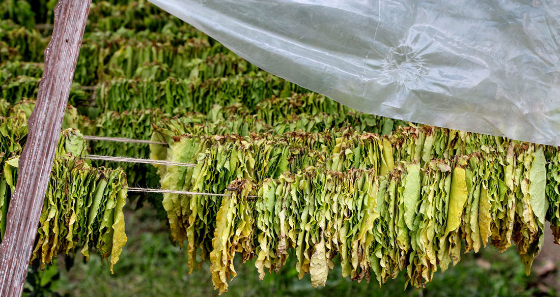 dry tobacco leaves Addiction Agriculture Cigarette  Close-up Day Dry Extensions Growth Industry Nature No People Outdoors Tobacco Tobacco Leaf