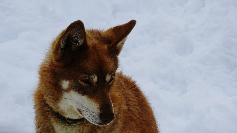 Dog Winter Mushing