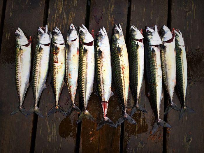Makrill Fish Fishing Todays Catch Smögen