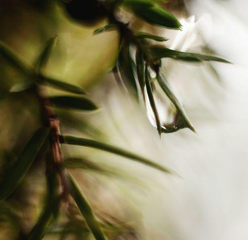 Дождь застрял в можжевельнике Nature In Bloom Extreme Close-up капля Macro Rain