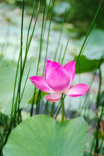 Lotus in summer Flower Pink Color Petal Nature Plant Leaf Day Beauty In Nature Flower Head Outdoors Close-up Water Fragility No People Freshness Lotus Water Lily Growth Lotus Lotus Leaf Vietnamese Symbol National Flower Lotus Flower Summer Summertime