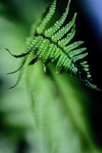 Beauty In Nature Bewitching Bokeh Botany Close-up Eye4nature Eye4photography  EyeEm Gallery EyeEm Nature Lover Fern Fragility From My Point Of View Green Green Color Growth Leaf Natural Pattern Nature Plant Selective Focus Tranquility