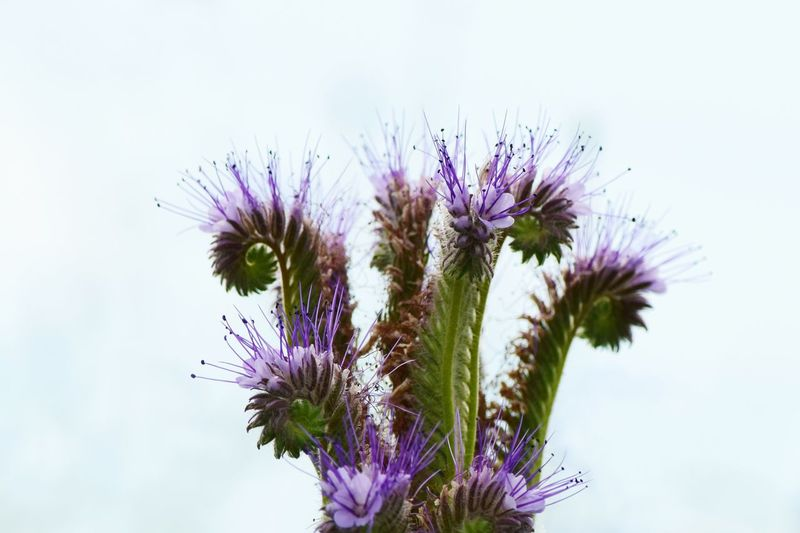 Purple Flower Nature Fragility Growth Plant Beauty In Nature Freshness Day No People Thistle Flower Head Petal Close-up Outdoors Blooming Bienenweide