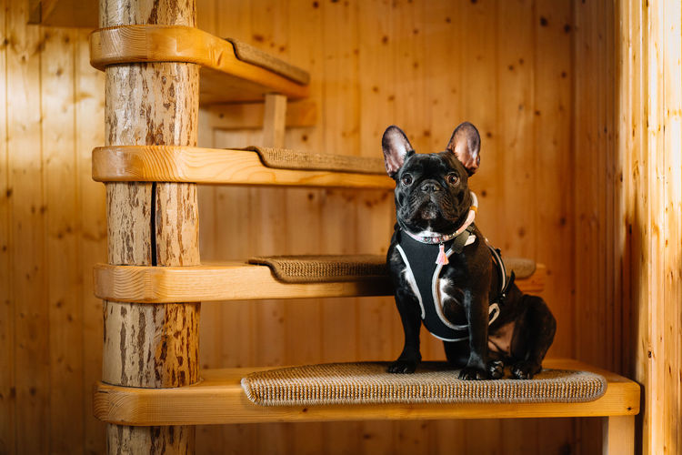 Portrait of a french bulldog dog sitting on spiral wood stairs