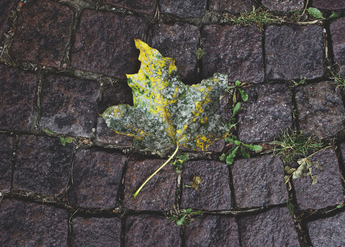 autumn 2016 Autumn Autumn Colors Change Close-up Cobblestone Damaged Fallen Fragility Green Green Color Leaf Leaf 🍂 Leafs Moss Natural Condition Nature Outdoors Plant Season  Seasons Vibrant Color Weathered Yellow