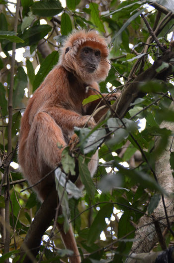 The Java Lutung Java Lutung Animal Animal Themes Animal Wildlife Animals In The Wild Branch Day Focus On Foreground Leaf Low Angle View Mammal Monkey Nature No People One Animal Outdoors Plant Plant Part Primate Sitting Tree Vertebrate