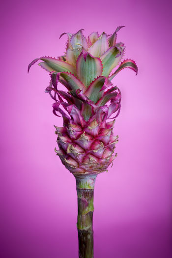 Mini pineapple in front of a pink background Mini Pineapple Beauty In Nature Flower Flower Head No People Petal Pink Background Pink Color Purple Studio Shot EyeEmNewHere