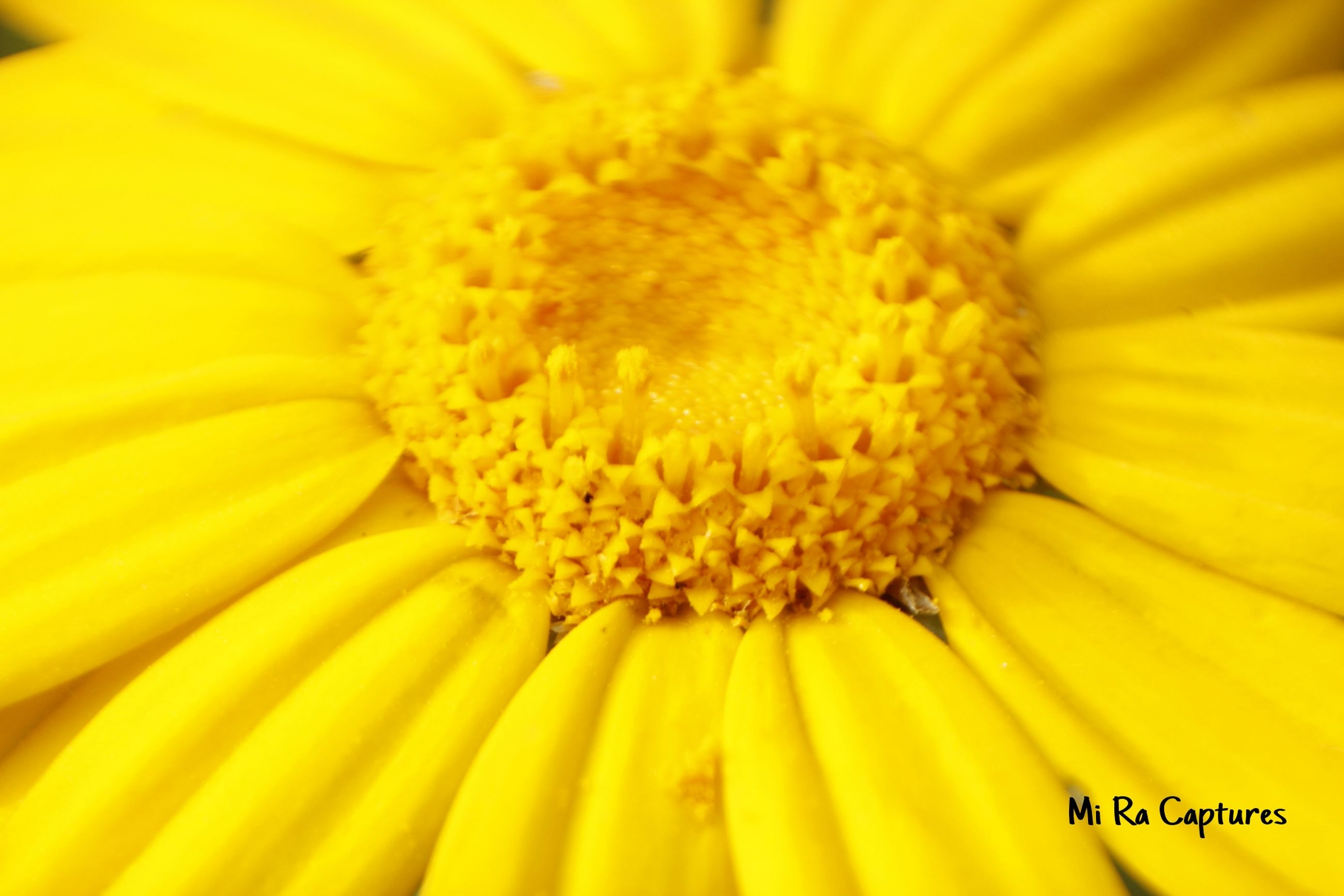 flower, yellow, freshness, petal, flower head, fragility, close-up, beauty in nature, pollen, growth, nature, full frame, single flower, backgrounds, blooming, macro, selective focus, stamen, extreme close-up, in bloom