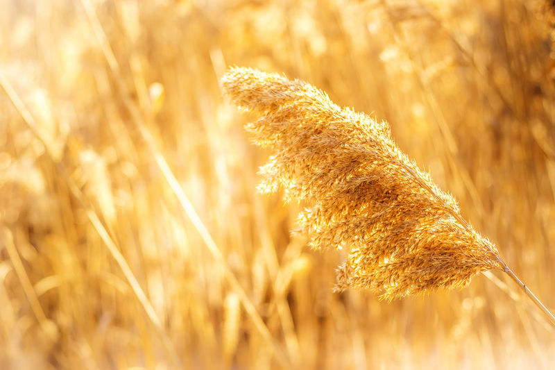 This is a photo i took at Valley Forge park, in Valley Forge, Pennsylvania showing a golden phragmite in a beautiful blurred rich bokeh. Agriculture Beauty In Nature Bokeh Day EyeEm Best Shots EyeEm Nature Lover Gold Colored Golden Grass Growth Highkeyphotography Howard Roberts Nature Nature Nature_collection No People Outdoors Phragmites Phragmites Australis Plant Reeds Sunshine This Week On Eyeem Wetland Wheat