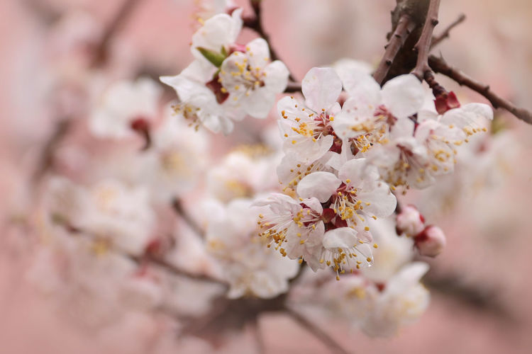 Pollination Flower Flowering Plant Plant Freshness Fragility Blossom Beauty In Nature Vulnerability  Tree Close-up Springtime Growth Nature Branch Pink Color Apricot Tree No People Selective Focus Flower Head Pollen Outdoors Bunch Of Flowers