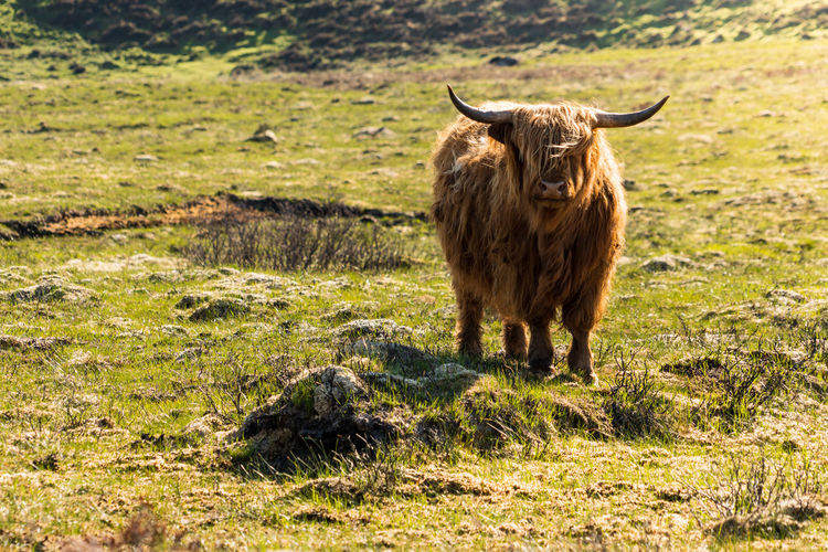 Scottish Cow Sunlight Animal Animal Themes Animal Wildlife Cattle Cow Day Domestic Domestic Animals Domestic Cattle Field Grass Herbivorous Horned Isle Of Skye Land Livestock Mammal Nature No People One Animal Outdoors Pets Plant Vertebrate The Great Outdoors - 2018 EyeEm Awards The Traveler - 2018 EyeEm Awards The Portraitist - 2018 EyeEm Awards Capture Tomorrow