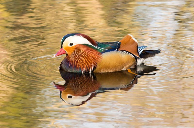 Mandarin Duck Swimming In Pond