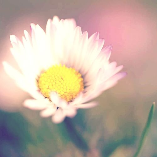 Daisy Garden Sweetly_nature Spring Flowers Flower Head Flower Yellow Petal Uncultivated Pink Color Pollen Close-up Plant Daisy In Bloom Plant Life