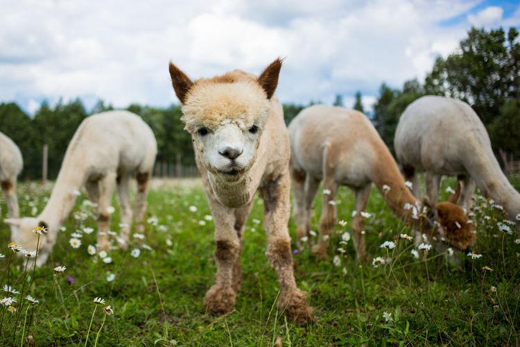 Alpacas on grassy field against sky