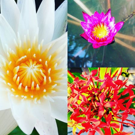 Enjoy The New Normal Flower Petal Fragility Flower Head Beauty In Nature Freshness Nature Growth Pollen Close-up No People Lotus Water Lily Blooming Outdoors Gerbera Daisy Day