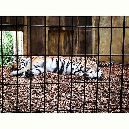 Tigers Animalsatthezoo ZooLife Caged münsterzoo wild sad tired