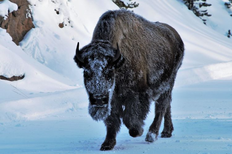 Are you looking at me. one bison in stampede i was caught in.