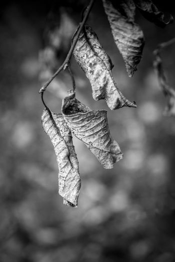 Close-up of dry leaves hanging on branch