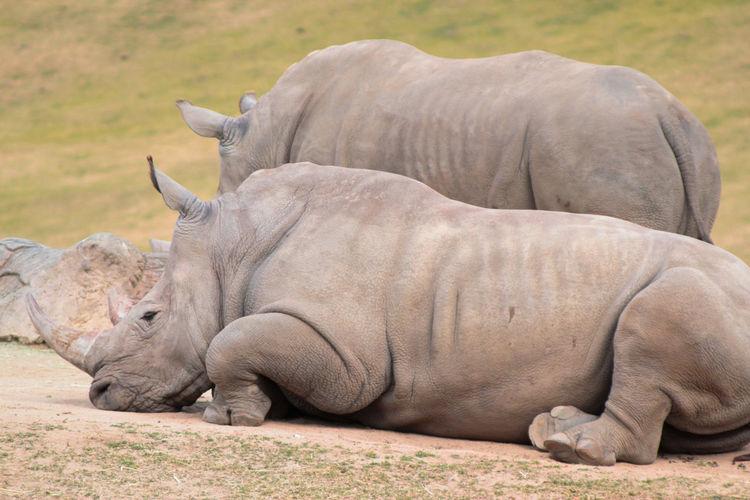 Rhinoceroses relaxing on field
