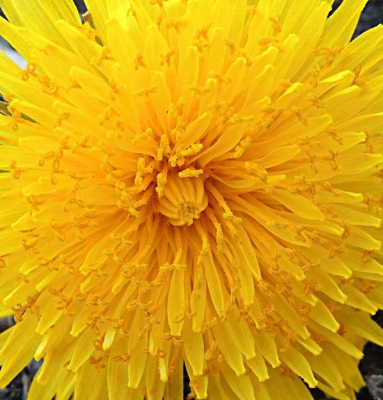 Flower Yellow Full Frame Fragility Flower Head Beauty In Nature Nature Close-up No PeoplePetal Outdoors Galaxy Note 5 Phone Photography Dandelion Backgrounds Freshness Day