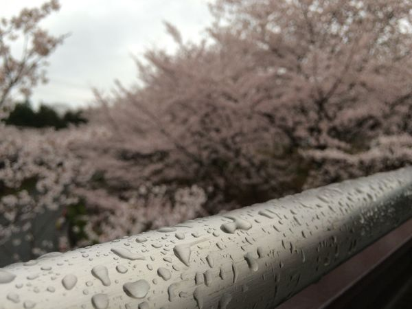 桜 雫 花見橋から桜を眺めて。