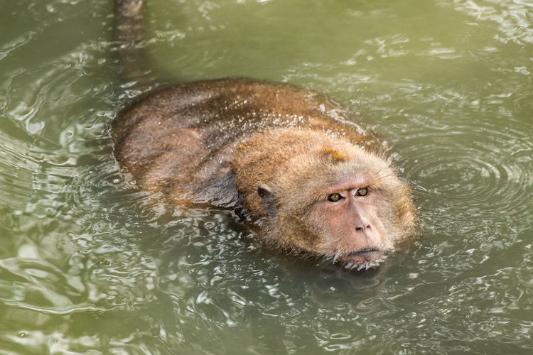 High angle view of long-tailed macaque swimming in lake