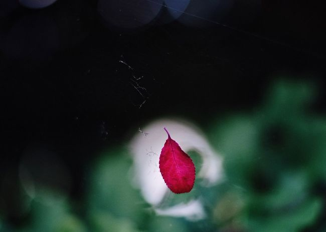 Fragility Close-up Red Vulnerability  Beauty In Nature Flower Plant Focus On Foreground Nature Leaf Pink Color Outdoors Selective Focus