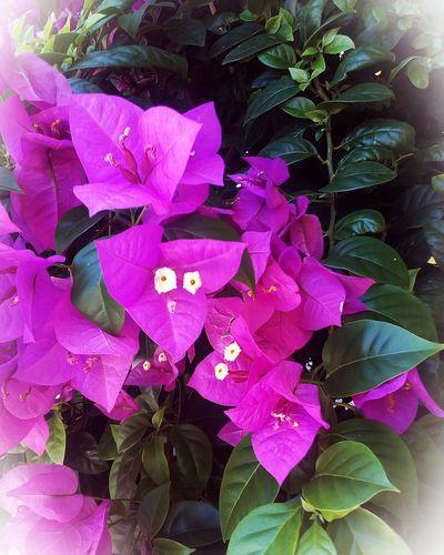 Brasil Brazil Brazilo Flowers Flores Floroj Gardens Jardins Flower Nature Petal Beauty In Nature Plant Fragility Pink Color Leaf